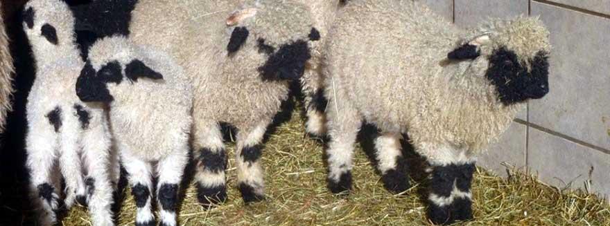 Walliser Schwarznasen Schafe Im Salzkammergut Rasse Und Geschichte